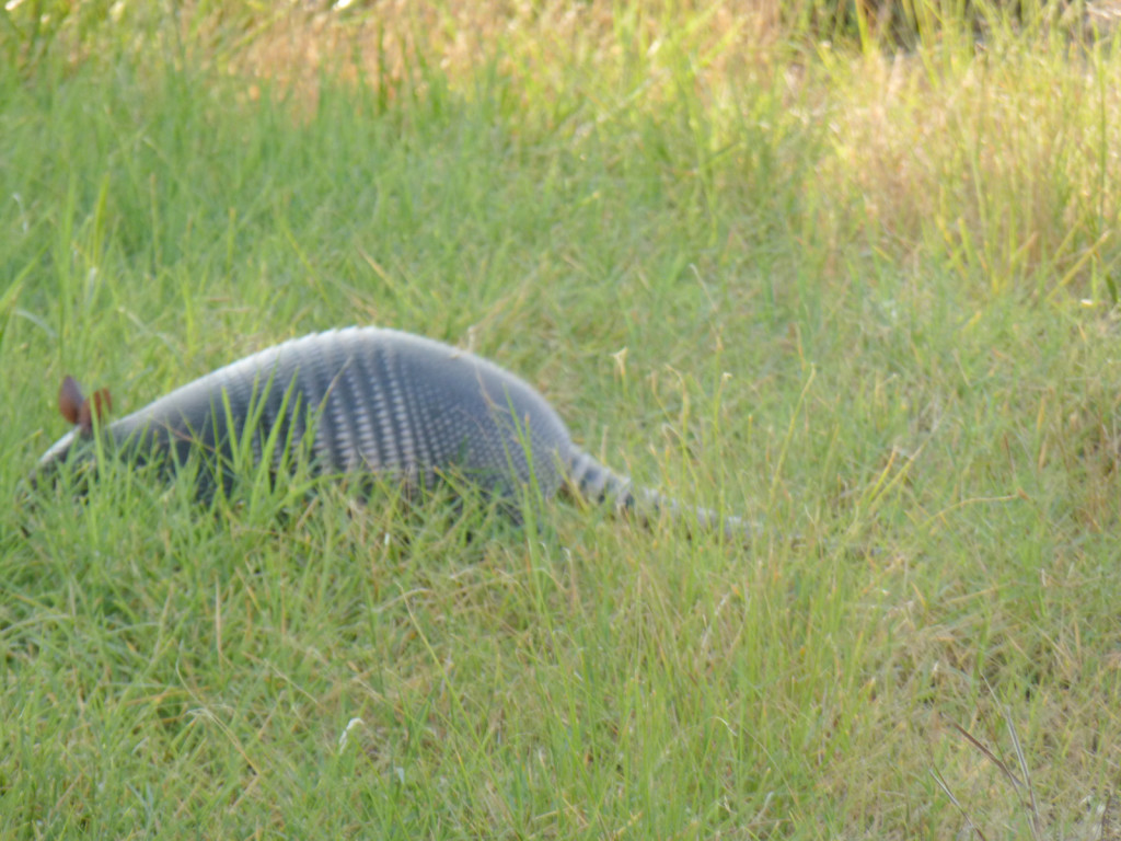 Here's an armadillo we saw on the road...it was trying very hard to sneak away (as you can see)
