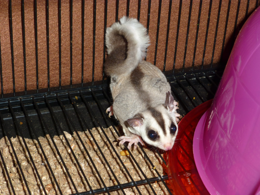 This...is a sugar glider...